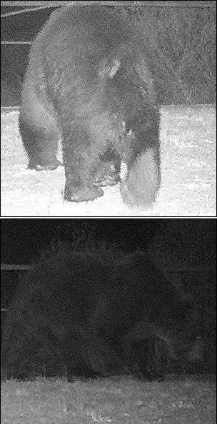 Bear Chernobyl