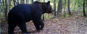 Bear in Chernobyl