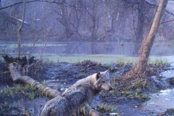 Chernobyl wolf