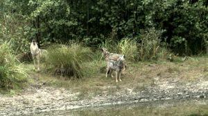 chernobyl wolfhunting