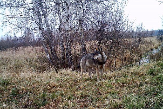 chernobyl wolfmutations