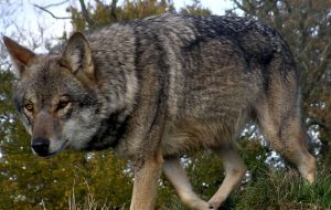 chernobyl wolfsize