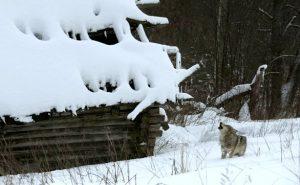 chernobyl radioactive wolves