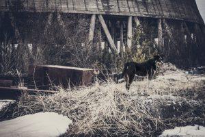 chernobyl dogs