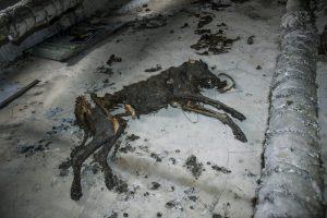 chernobyl mutant dogs